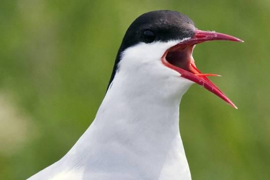 Arctic_Tern(1)
