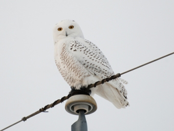 Immature Male Snowy Owl.   Photo obtained at http://www.allaboutbirds.org/guide/snowy_owl/id © Trish Sweet, AB, Calgary, January 2011.
