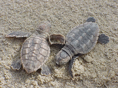 Loggerhead sea turtle hatchlings.  Photo courtesy of U.S. Fish and Wildlife Service.