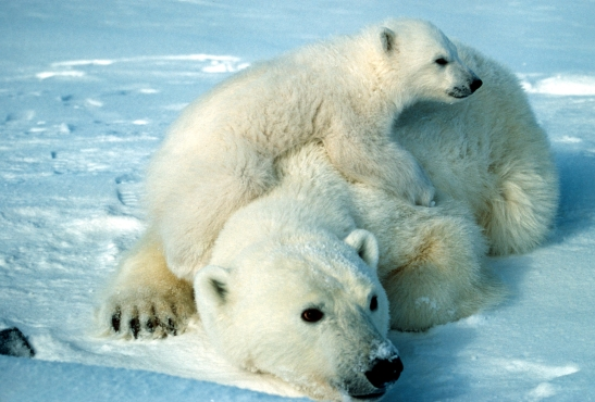 Polar bear with cub.  Photo courtesy of U.S. Fish and Wildlife Service.