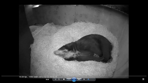 Photo by Maymie Higgins via Smithsonian National Zoo's Webcam.