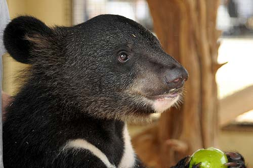 Asiatic black bear cub. Photo from the Creative Commons.  (although this is a bear cared for by Maymie Higgins in 2008.)