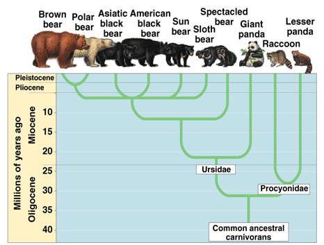 Bear Phylogenetic Tree