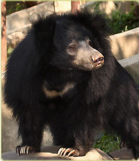 Female sloth bear, Hana. Smithsonian National Zoo.