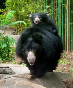 Sloth bear Hana and her cub, Hank. Photo courtesy of Smithsonian National Zoo. Photo by Barbara Statas, FONZ Photo Club