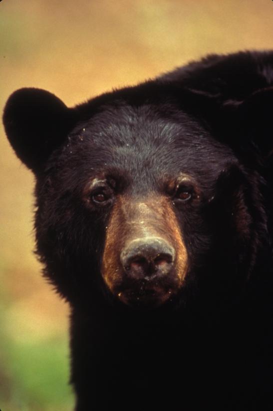 American black bear. Great Dismal Swamp National Wildlife Refuge.