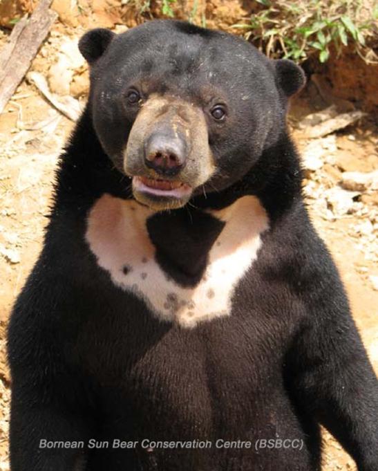 Photo courtesy of Bornean Sun Bear Conservation Center.