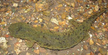 Ozark hellbender. Photo courtesy of National Park Service.