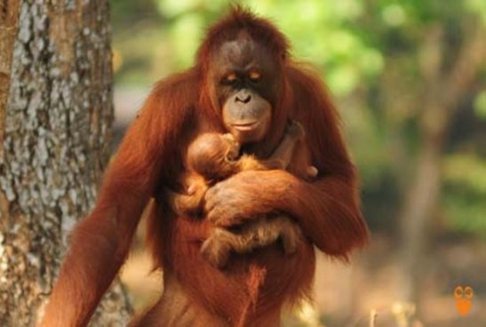 Photo courtesy of Center of Orangutan Protection.