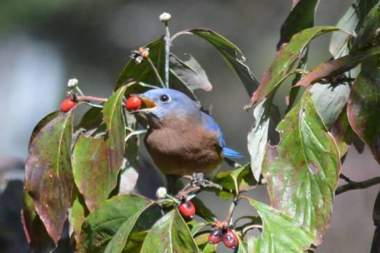 Male Eastern Bluebird having a berry from my dogwood tree.  Photo by Maymie Higgins