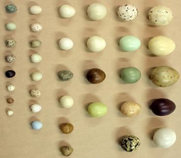 bird_eggs2