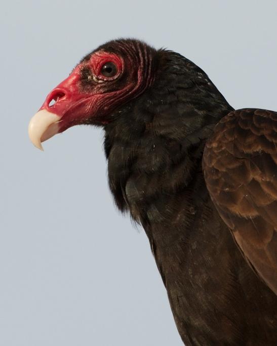 Turkey_Vulture