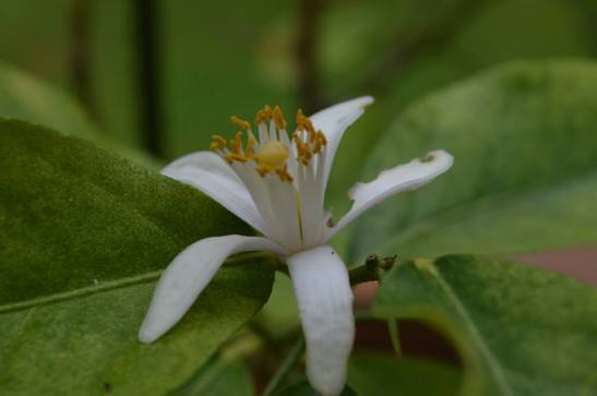 Lemon tree blossom