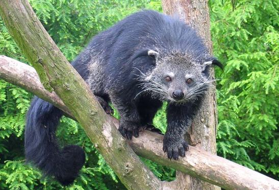 Binturong_in_Overloon
