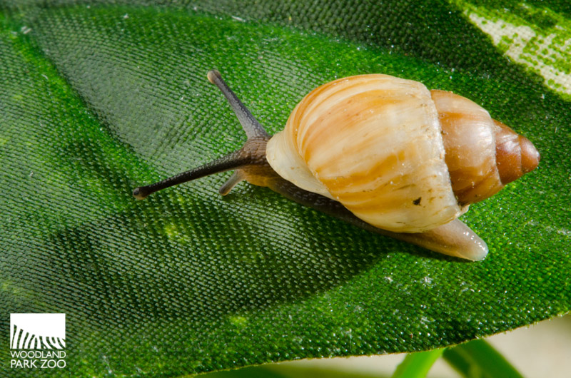 how to cook snails in the wild