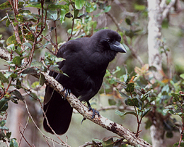 Hawaiian Crow is considered to be extinct in the wild.  Photo courtesy of U.S. Fish and Wildlife Service.