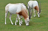 Scimitar-horned oryx is considered extinct in the wild.  Photo courtesy of U.S. Fish and Wildlife Service.