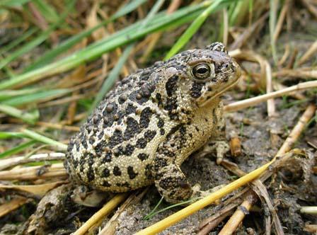 Endangered Wyoming toad